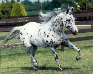 "White Horse with Spots - ""Blue"""