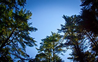 Looking Up at Trees-ChrisMouldingFlickr